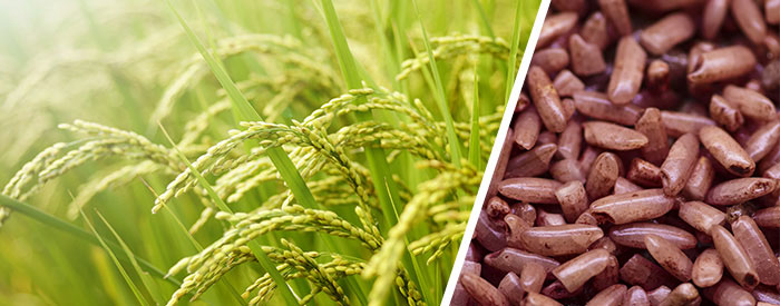 What is Red Yeast Rice? RYR and its role as a cholesterol lowering supplement